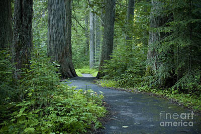 Path Through The Cedars Poster by Idaho Scenic Images Linda Lantzy