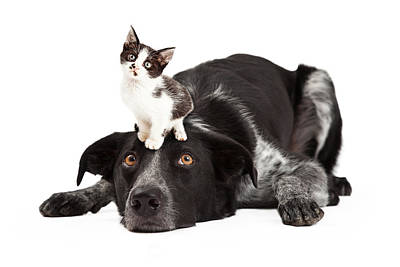Patient Border Collie With Little Kitten On Head Poster by Susan  Schmitz