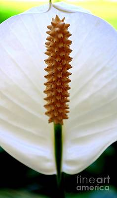 Peace Lily - Spathaphyllum Poster by Mary Deal