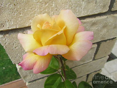 Peace Rose Poster by Joyce Woodhouse