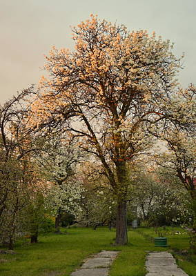 Pear Spring Sunrise Poster by Henryk Gorecki