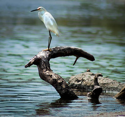 Perched Snowy Egret  Poster by Debra Forand