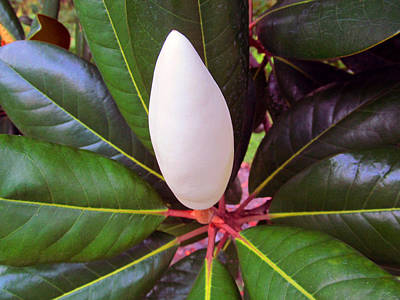 Perfect Magnolia Bud Poster by Tina M Wenger