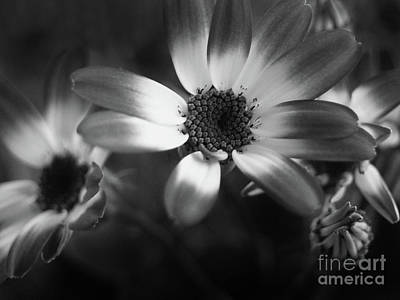 Pericallis Senetti Blue Bicolor In Monochrome 3 Poster by Dorothy Lee