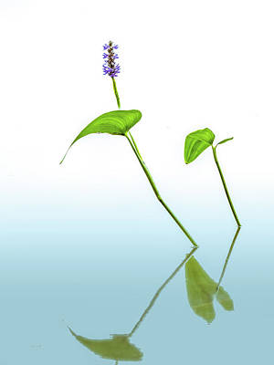 Pickerelweed In The Mist Poster by Bob Orsillo