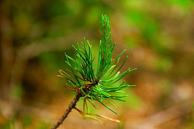 Pine Needle Poster by Jeff Swan