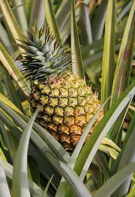 Pineapple Plant Poster by Rosalie Scanlon