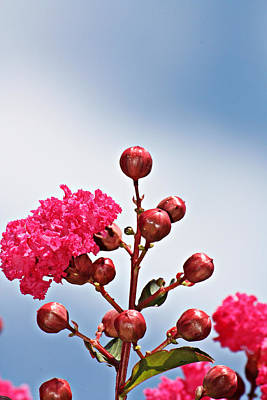 Pink Crape Myrtle- Fine Art Photography Poster by KayeCee Spain