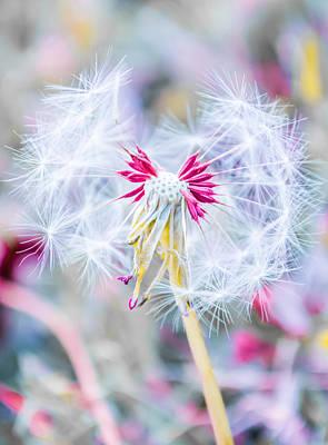 Pink Dandelion Poster by Parker Cunningham