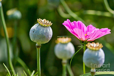 Pink Poppy And Buds Poster by Ms Judi