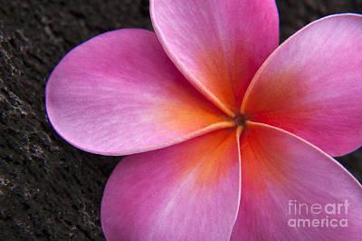 Pink Frangipani Poster by Julia Hiebaum