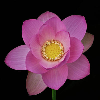 Pink Lotus In Full Bloom Poster by Janet Chung
