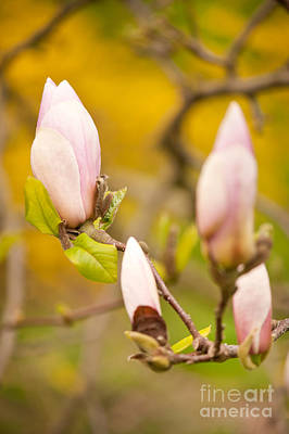 Pink Magnolia Buds Grow Poster by Arletta Cwalina