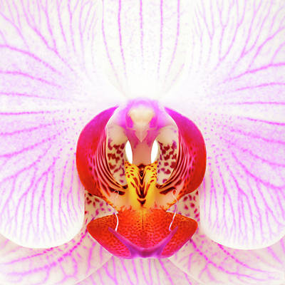 Pink Orchid Poster by Dave Bowman