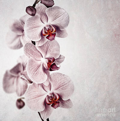 Pink Orchid Vintage Poster by Jane Rix