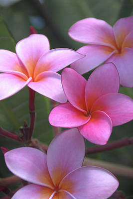 Pink Plumeria Poster by Brian Harig