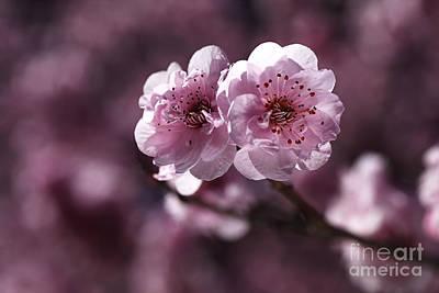 Pink Prunus Blossom Poster by Joy Watson