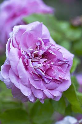 Pink Rose Flower Poster by Frank Tschakert