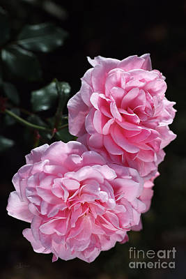 Pink Roses Double Delight Poster by Joy Watson