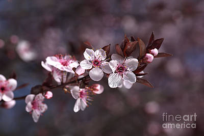 Pink Spring Blossom Poster by Joy Watson