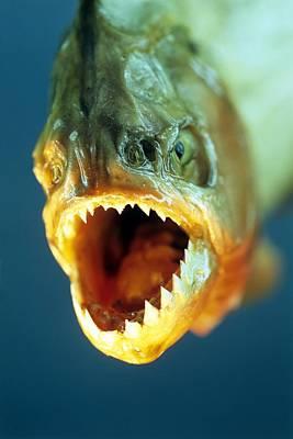 Piranha's Mouth Poster by David Aubrey