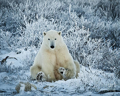 Polar Bear In A Frosty World Poster by Paulette Sinclair