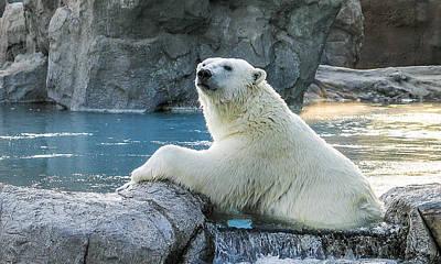 Polar Bear Poster by Steven Ralser