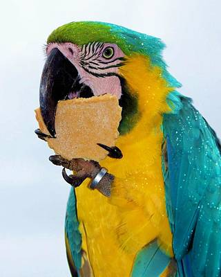 Polly Wanna Cracker Poster by Karen Wiles