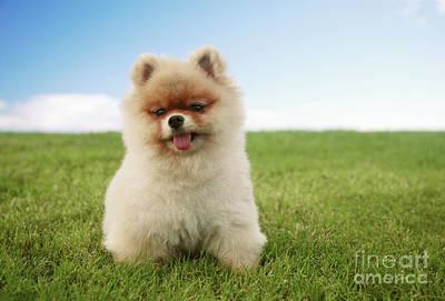 Pomeranian Puppy On Grass Poster by Brandon Tabiolo - Printscapes