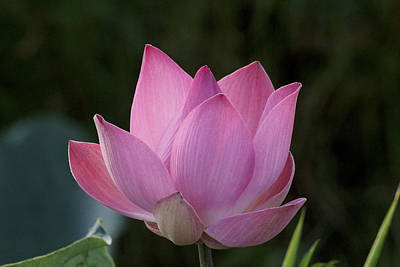 Portrait Of A Beautiful Pink Lotus Poster by Eddie Yong