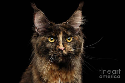 Portrait Of Tortoise Color Maine Coon Cat Poster by Sergey Taran