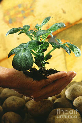 Potato Plant Poster by Science Source