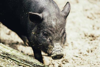 Potbelly Piglet Portrait Poster by Pati Photography