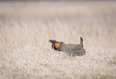 Prairie Chicken 1-2015 Poster by Thomas Young