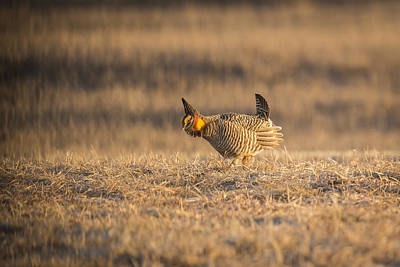 Prairie Chicken 2013-15 Poster by Thomas Young