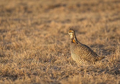 Prairie Chicken 2013-16 Poster by Thomas Young