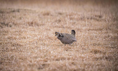 Prairie Chicken 3-2015 Poster by Thomas Young