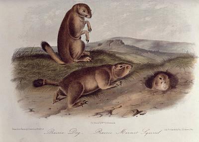 Prairie Dog Poster by John James Audubon