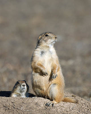 Prairie Dogs On Watch Poster by Gary Langley