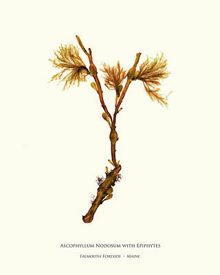 Pressed Seaweed Print, Ascophyllum Nodosum With Epiphytes, Falmouth Foreside, Maine. Poster by John Ewen