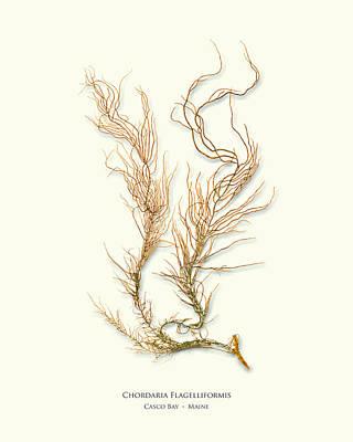 Pressed Seaweed Print, Chordaria Flagelliformis, Casco Bay, Maine. Poster by John Ewen