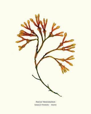 Pressed Seaweed Print, Fucus Vesiculosus, Sebasco Harbor, Maine Poster by John Ewen