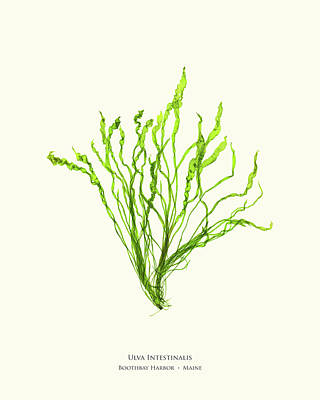 Pressed Seaweed Print, Ulva Intestinalis, Boothbay Harbor, Maine. Poster by John Ewen