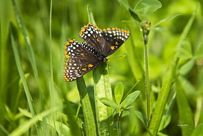 Pretty Baltimore Checkerspot Butterfly Poster by Christina Rollo