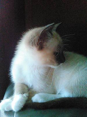 Siamese Kitten Profile Poster by Becky Burt