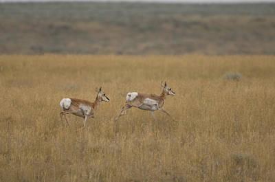 Pronghorn Antelope At The Charles M Poster by Joel Sartore