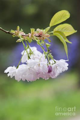 Prunus Shujaku Blossom Poster by Tim Gainey