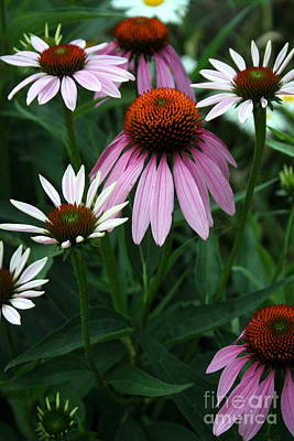 Purple Coneflowers Poster by Kay Novy