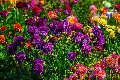 Purple Dahlias Poster by Garry Gay