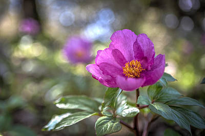 Purple Forest Wild Flower  Poster by Dirk Ercken
